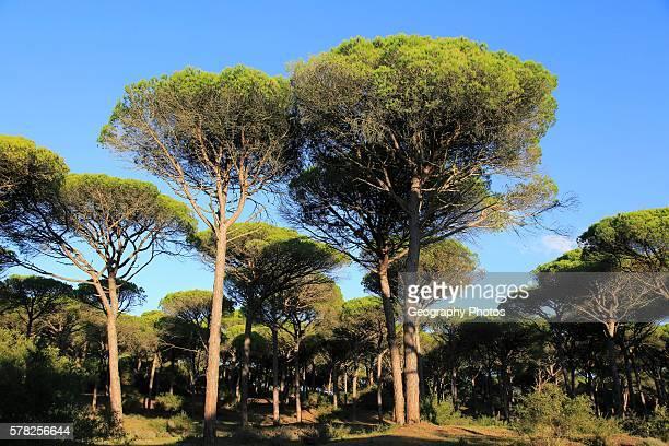 Stone pine trees Pinus pinea Parque Natural de Acantilado Parque Natural de La Brena Barbate Cadiz province Spain