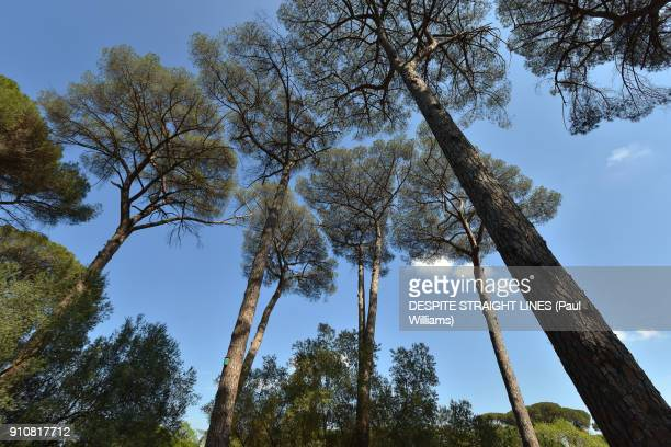 Stone pines within the grounds of Villa Ada Savoia, Rome, Italy