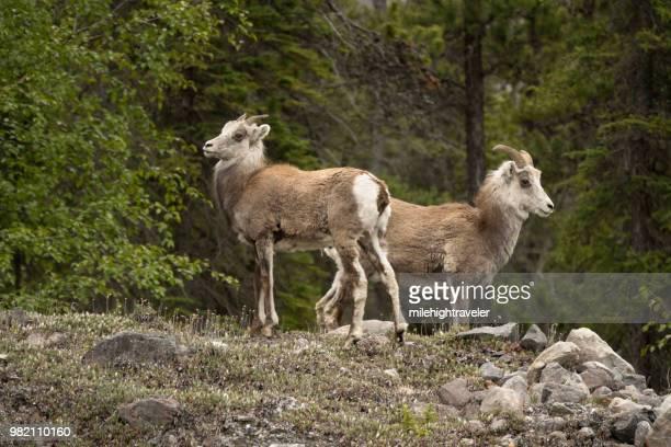 Stone sheep pair Muncho Lake Provincial Park along Alaska Highway British Columbia Canada