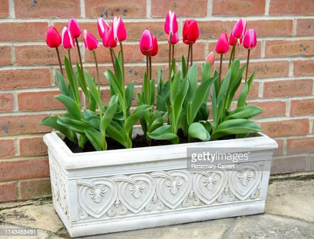 stone trough full of red tulips against brick wall. - 飼い葉桶 ストックフォトと画像