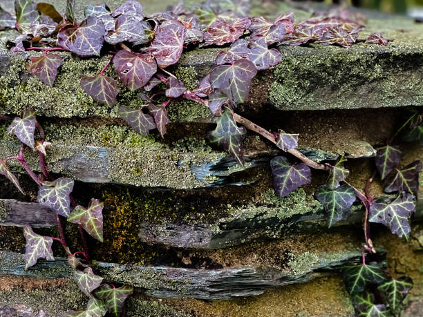 stone wall coated with green moss with climbing ivy vine
