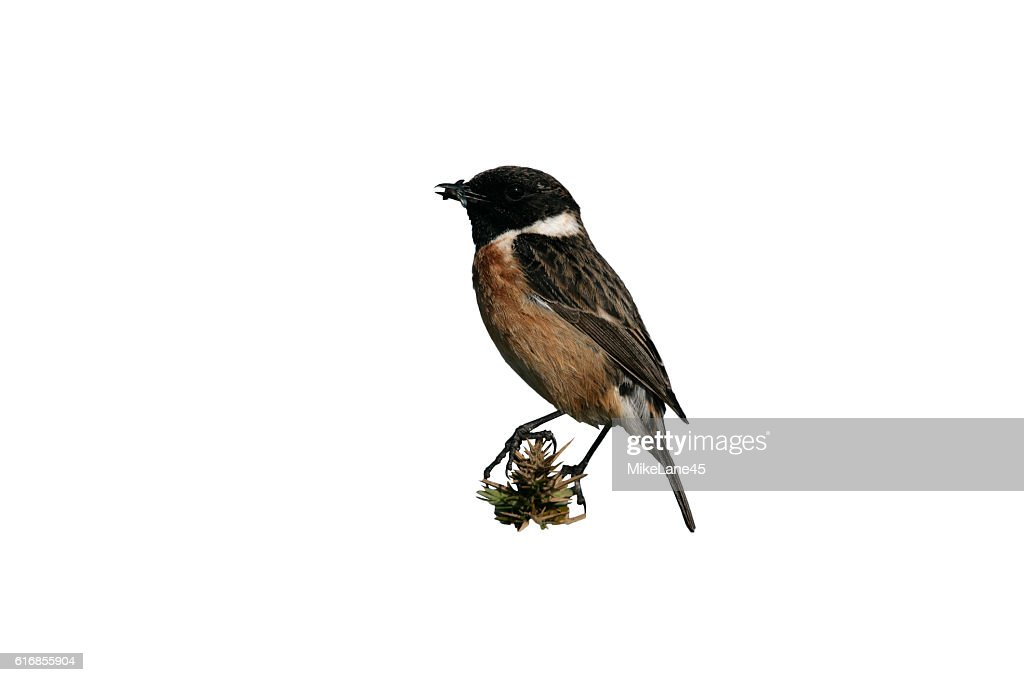 Stonechat, Saxicola torquata : Stock Photo