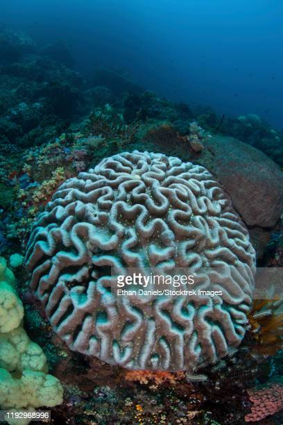 stony coral on a reef in sulawesi, indonesia. - brain coral foto e immagini stock