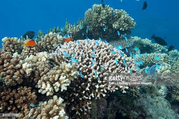Stony corals (Acropora nusata), Beqa Lagoon, Fiji.