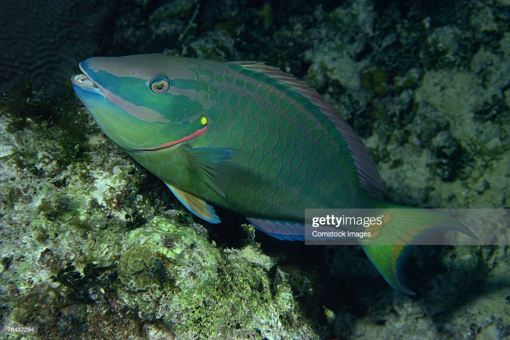 Stoplight parrotfish : Stockfoto