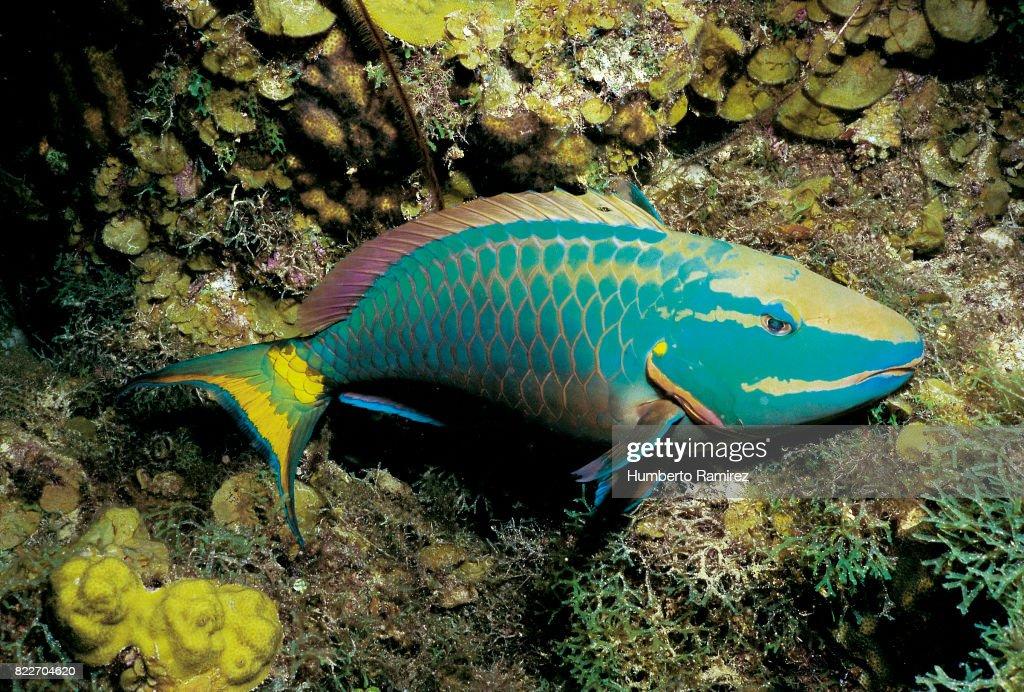 Stoplight Parrotfish(terminal phase). : Stock Photo