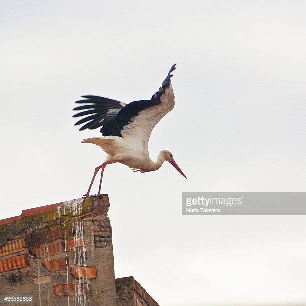 Stork about to take off from a rooftop