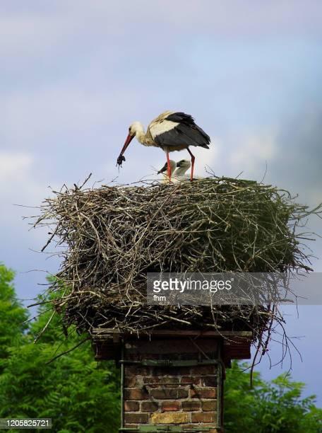 a stork and his nest - tierbauten stock-fotos und bilder