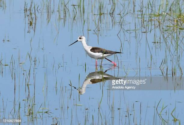 A stork and its reflection on water is seen as it moves at reed in Turkey's Mus province on April 21 2020 Telli Turna Association for Nature...