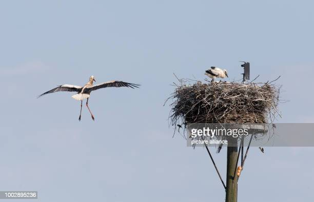 A stork approaches his nest with his offspring at the Hunte an inflow of the Duemmer lake near Lemfoerde Germany 22 May 2017 Photo Friso Gentsch/dpa