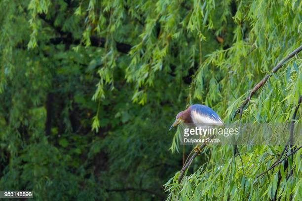 stork bird on the tree. - provinz yunnan stock-fotos und bilder