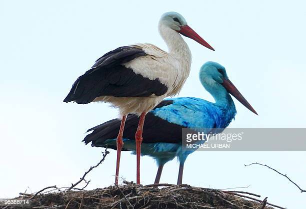 A stork covered in a light blue colour and a white stork female stand in their nest in the eastern German town of Biegen on April 10 2010 Experts...