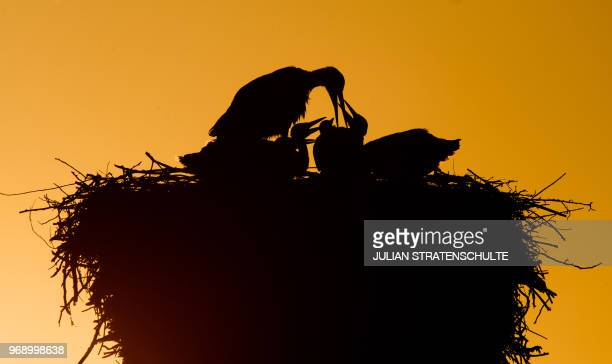 TOPSHOT A stork feeding its offspring in their nest silhouettes against the evening sky as sun sets in Laatzen near Hanover northern Germany on June...