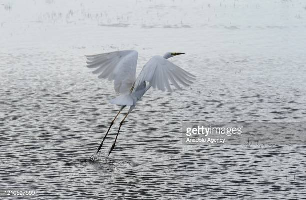 A stork flying on water in Turkey's Mus province on April 21 2020 Telli Turna Association for Nature Protection field observation team in Mus records...