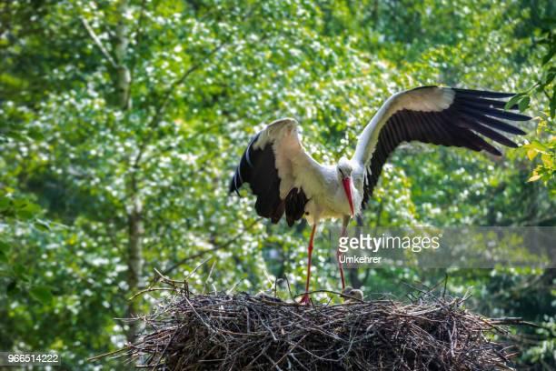 Storch in seinem nest