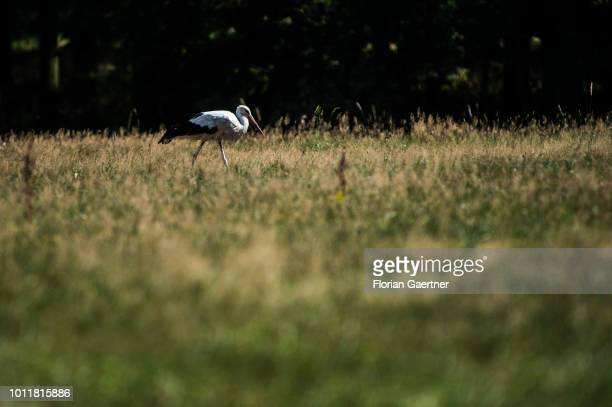 A stork is pictured during forage on August 01 2018 in Thiemendorf Germany