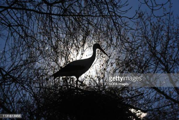 A stork is seen on its nest on a tree at Madrid zoo The number of white storks nesting on trees at zoo has increased between 200% and 300% in the...