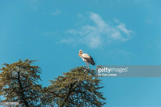 stork perched on a tree - yellow perch stock photos and pictures