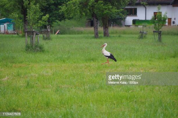 stork - gras stock pictures, royalty-free photos & images
