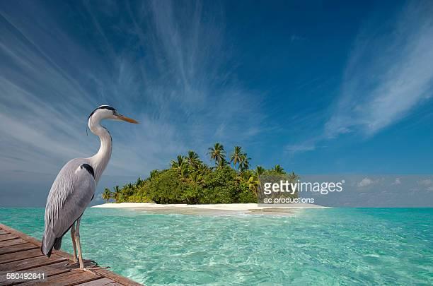 Stork standing on wooden dock near tropical island