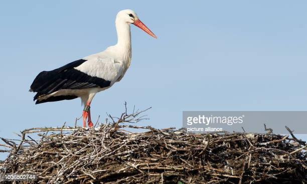 A stork stands on his aerie in front of a backdrop of a bright blue sky in Hamburg Germany 27 March 2013 According to the nature conservation...