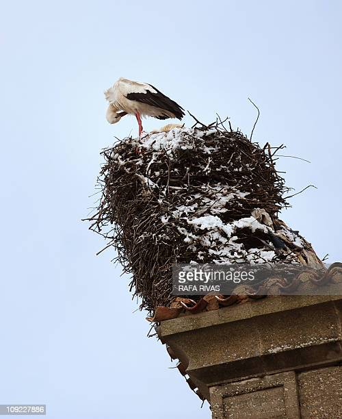 A stork stands on its snow covered nest in the Northern Spanish village of Buniel Burgos province on February 17 2011 AFP PHOTO/ RAFA RIVAS