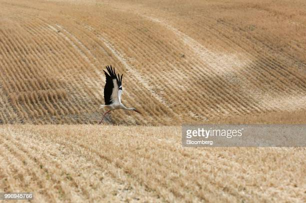 A stork takes flight in a wheat field during the summer harvest on a farm operated by Ros Agro Plc in Kazinka village outside Belgorod Russia on...