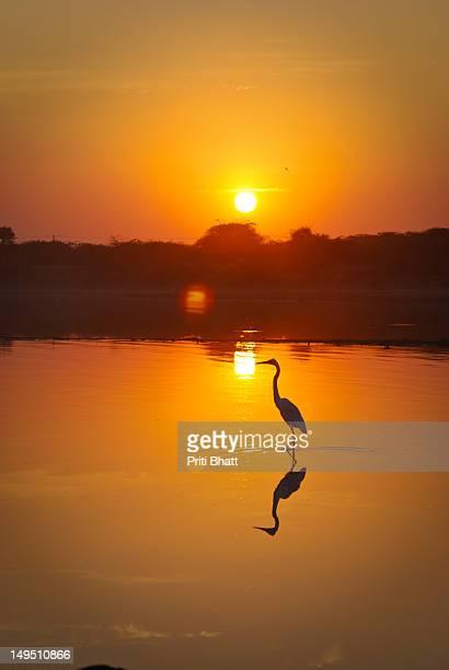 Stork wading through village pond