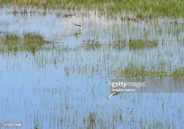 Storks and their reflection on water are seen as they move at reed in Turkey's Mus province on April 21 2020 Telli Turna Association for Nature...