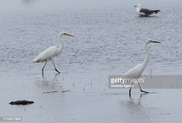 Storks are seen as they move at reed in Turkey's Mus province on April 21 2020 Telli Turna Association for Nature Protection field observation team...