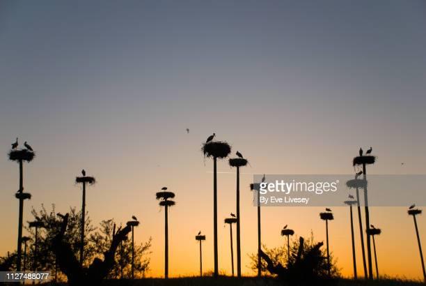 storks at sunset - extremadura fotografías e imágenes de stock