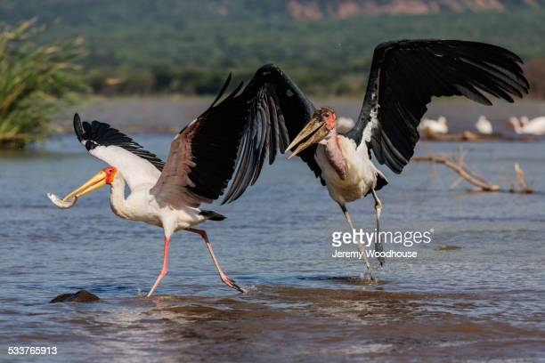 storks catching fish in remote lake - marabout photos et images de collection