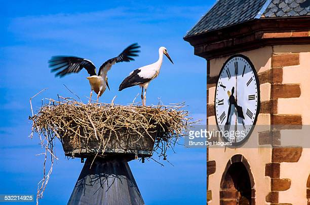 Storks in a nest, Alsace, France