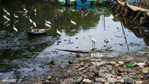 storks in a pollution of the environment swamp colombo, sri lanka - sri lanka garbage stock photos and pictures