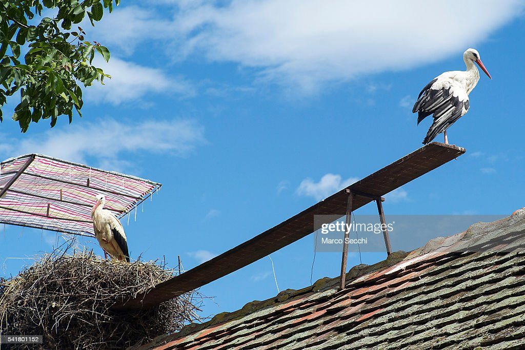 A Fifteen Year Love Story For Two Storks Klepetan And Malena : News Photo