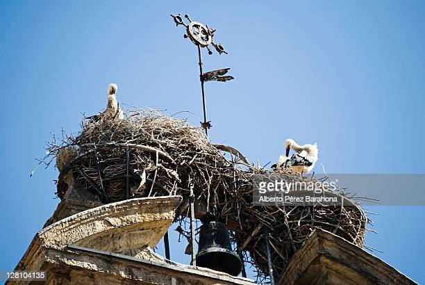 Storks nes on cathedral tower