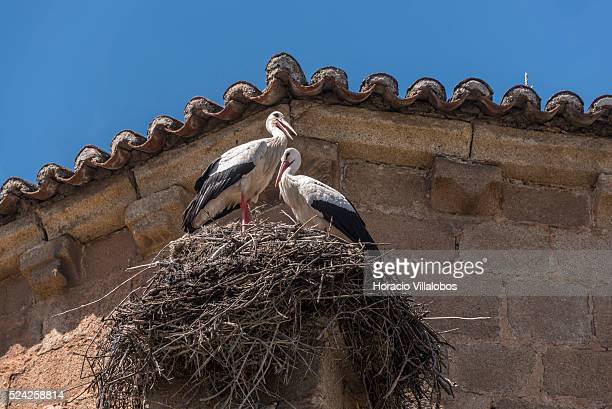 Storks nest in San Juan Bautista church C������ceres Spain 30 April 2015 The origins of C������ceres go back to prehistoric times as evidenced by the...