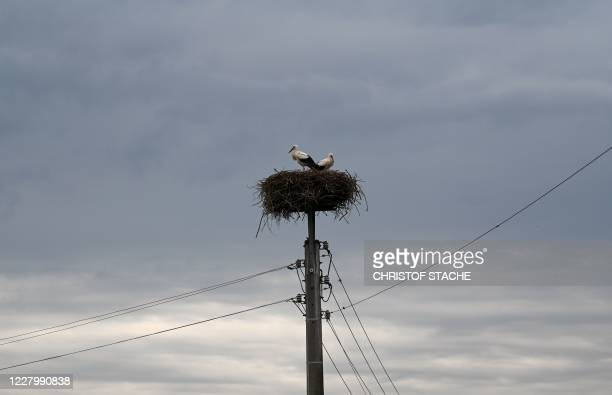 Storks stand in their nest built on a power line mast in the small village of Alt Zauche near Luebben Germany on August 10 2020