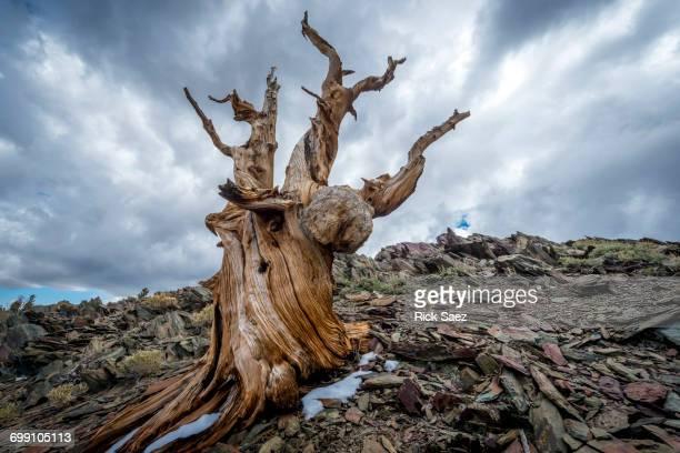 storm clouds in the bristlecone forest - töten stock-fotos und bilder