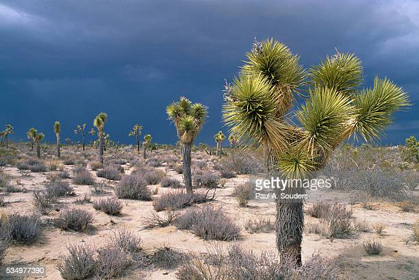storm clouds over joshua trees - joshua stock pictures, royalty-free photos & images