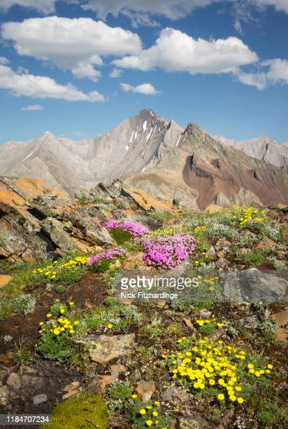 storm mountain and alpine wildflowers above highwood pass, kananaskis country, alberta, canada - kananaskis country stock pictures, royalty-free photos & images