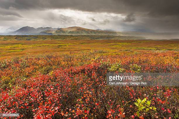 A storm passes over fall colors and the mounatins of the Alaska Range in Denali National Park & Preserve, Alaska.