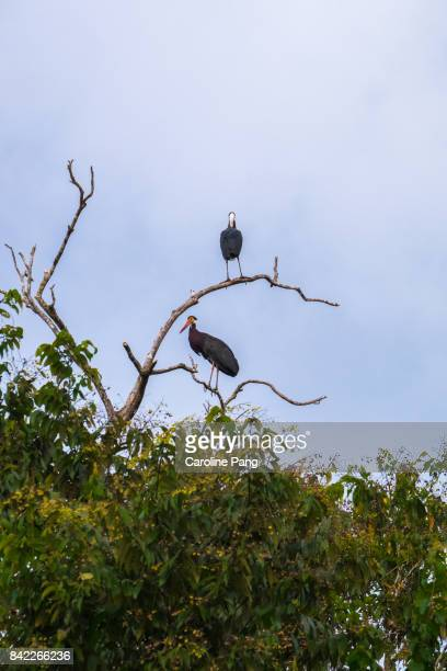 Storms Stork