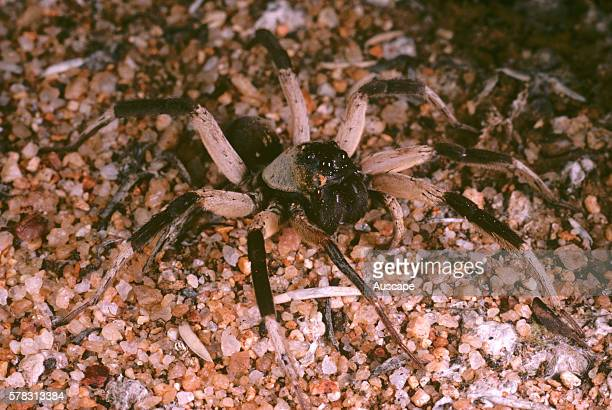 Storr's wolf spider Hoggicosa storri at night Bank Rock Wheat belt region Western Australia Australia