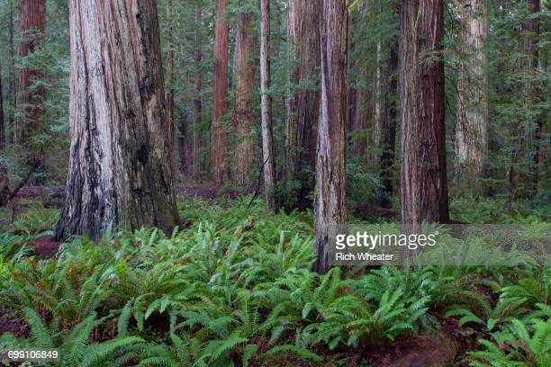 Stout Grove. Howland Hill Road, Jedediah Smith Redwoods state park. Crescent City, California