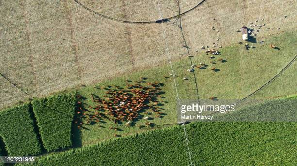 straight down aerial view of beautiful brown organic cows grazing in a field - grazing stock pictures, royalty-free photos & images
