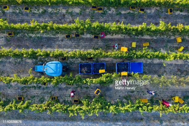 4k straight down scenic aerial view of farm workers harvesting grapes in vineyards on a wine estate in the western cape province, south africa - agricultural activity stock pictures, royalty-free photos & images