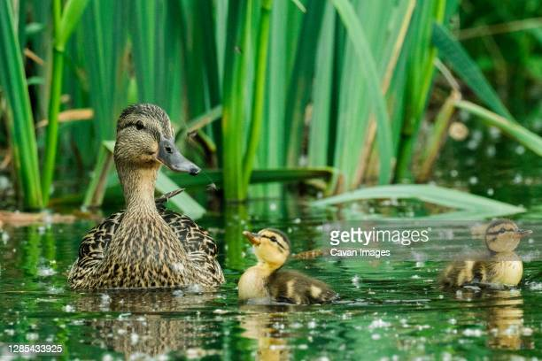 straight on view of a mother duck and her two ducklings - duckling stock pictures, royalty-free photos & images