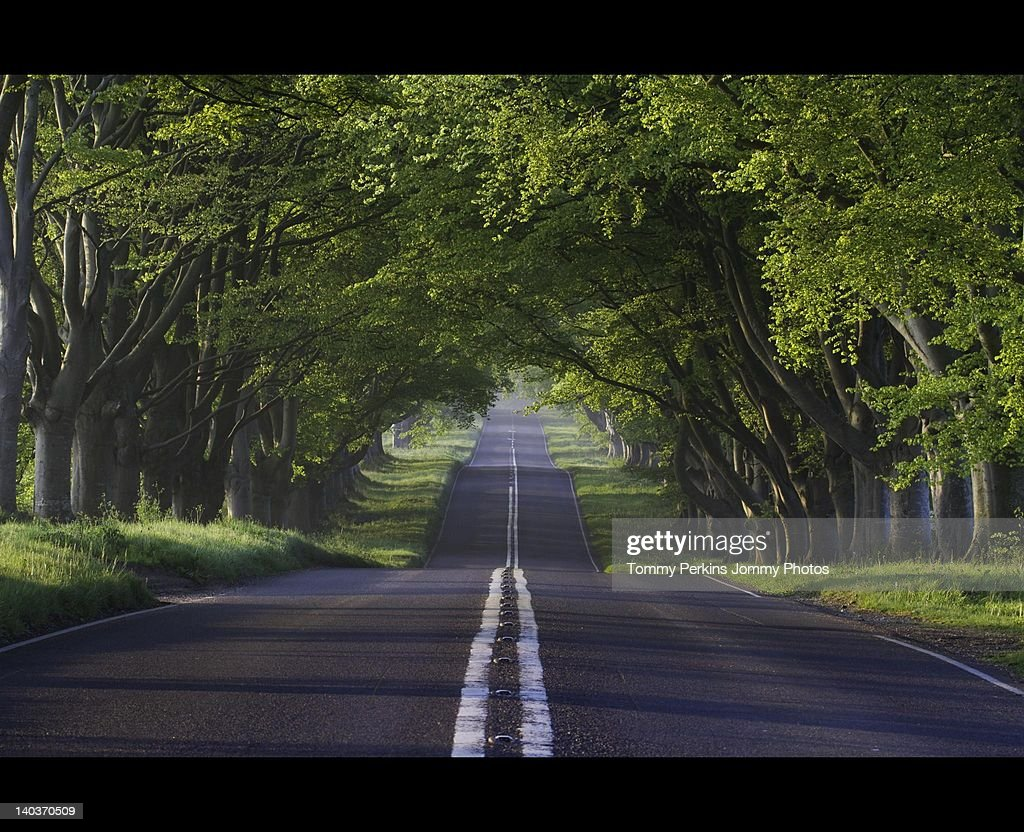 Straight Road With Beech Trees Stock Photo | Getty Images for Straight Road With Trees  70ref