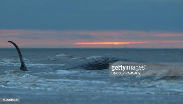 A stranded sperm whale founders in shallow water after the tide came in at Hunstanton Beach in Norfolk eastern England on February 4 2016 after being...
